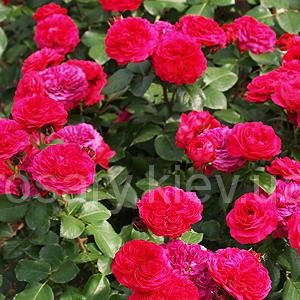 Многоцветковые (флорибунда) розы