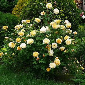 Парковые розы и шрабы