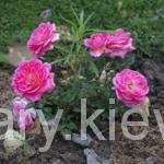 Миниатюрные и патио розы